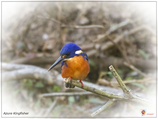 Azure Kingfisher at Wombolly