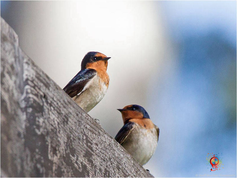 Welcome Swallows at Wombolly
