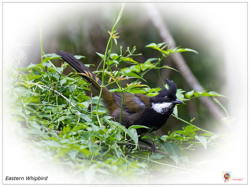 Eastern Whipbird at Wombolly