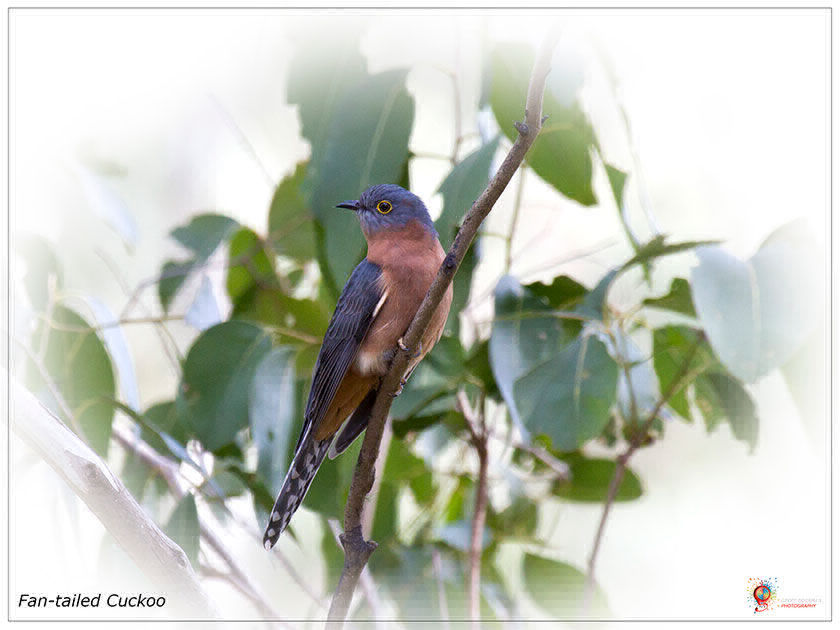 Fantailed Cuckoo at Wombolly