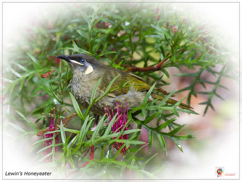 Lewin's Honeyeater at Wombolly