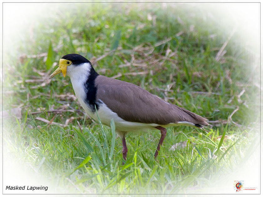 Masked Lapwing at Wombolly