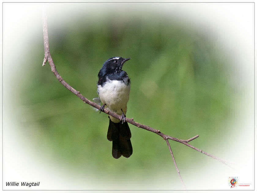 Willie Wagtail at Wombolly