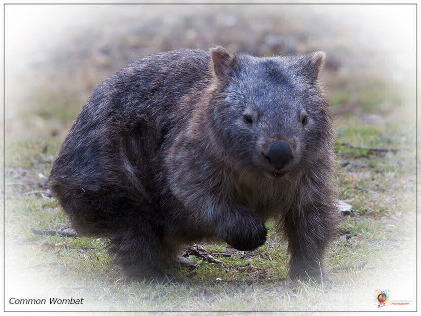 Wombats at Wombolly