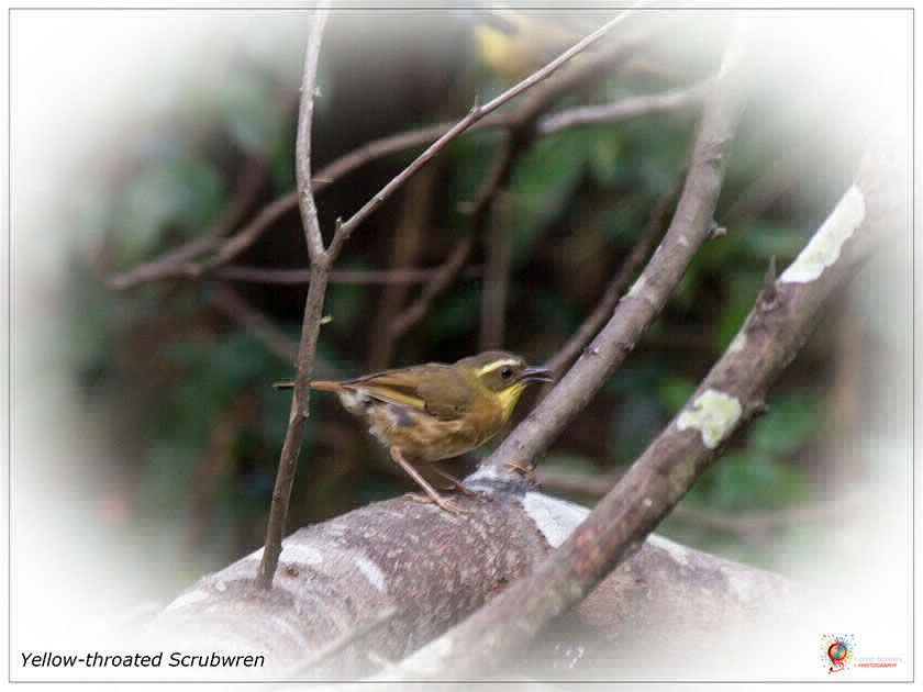 Yellow-throated Scrubwren at Wombolly