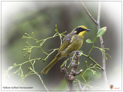 Yellow-tufted Honeyeater at Wombolly